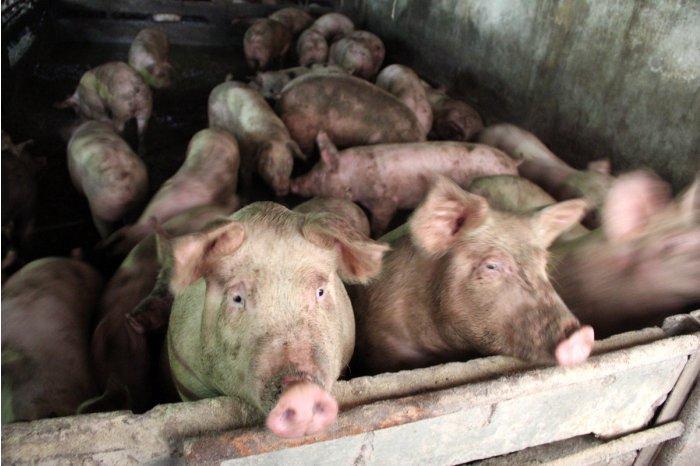Вспышка африканской чумы свиней обнаружена в коммуне Манта Кагульского района